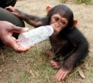 HEALTHY MALE AND FEMALE BABIES CHIMPANZEE AVAILABLE NOW!!