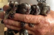 Male And Female Marmoset Finger Monkey Babies