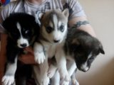 Cute and Adorable siberian husky  Puppies