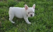Charming French Bulldog puppies available