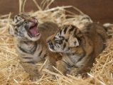 new litters of exotic feline cubs ready to go now