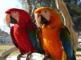 Macaw Parrots For Sale With Papers