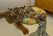 Playful Tigers Cubs  For Sale