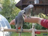 Playful African Grey Parrots Available For Sale