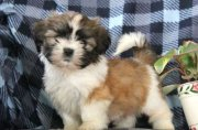 Super adorable Shih Tzu puppies for sale