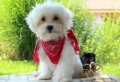 Clean registered Maltese puppies for sale