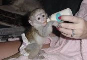 quality Capuchin monkeys for sale