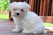 Super adorable Maltese puppies for sale