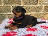 Rottweilers Puppies for Sale