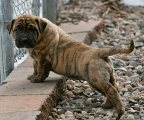 Lovely Presa Canario Puppies