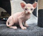 Beautiful Sphynx Kittens for Sale
