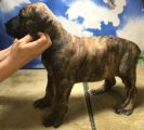 Boerboel Puppies Available for good homes