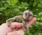 Cute Marmoset Monkeys For Sale.