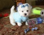 Registered T-Cup Maltese Puppies Available for sale