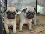 Magnificent Pug Puppies Available for sale