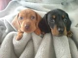Excellent Dachshund Puppies Available for sale