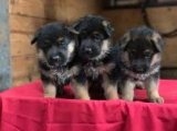 Standard German Shepherd Dog puppies for sale