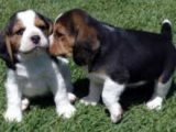 Energetic Beagle Puppies for sale