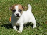 2 Amazing Jack Russell Terrier Puppies Available for sale