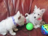 AKC West Highland White Terrier Puppies for sale