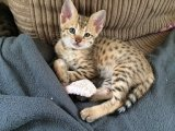 Caring Savannah Kittens