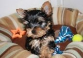 Super Adorable Male and female Teacup Yorkie Puppies for sale