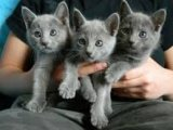 Charming Males and females Russian blue Kittens For Sale