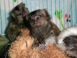 Young Baby Marmoset Monkeys for good homes