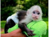 Cute male and female Capuchin Monkeys available for new home