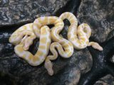 Cute and healthy albino and piebald python for sale