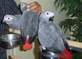 Nice looking males and females African Grey Parrots Available