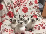 Adorable Siamese Kittens for Sale