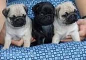 Pretty Pug Puppies for sale
