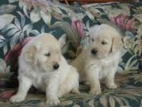Cute Awesome Golden Retriever Puppies for sale