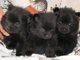 AKC Healthy Black Teacup Pomeranian Puppies Available