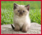 Himalayan Kittens for sale