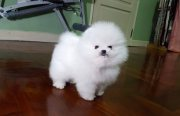 Stunning Pomeranian Puppies For Sale
