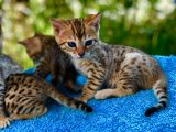 Lovely male and female bengal kittens Available