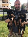 Top quality Rottweiler puppies whatsapp . +17249132010