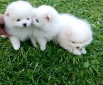 Adorable Pomeranian puppies for sale.