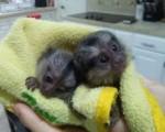Nice Marmoset Monkeys for sale.