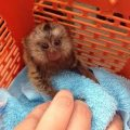 Marmoset Monkeys For Sale.
