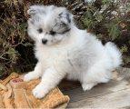 Adorable outstanding Pomeranian puppies