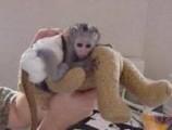جميل القرد قرد