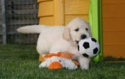Playful Golden Retriever Puppies Available In Bahrain