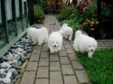 Purebred Samoyed Puppies for Adoption