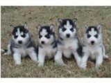Gorgeous male and female Siberian Husky puppies