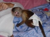 Three  Babies Capuchin Monkeys