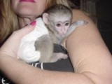 Baby Capuchin Monkey Available For Re-homing