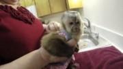 Free Capuchin Monkey